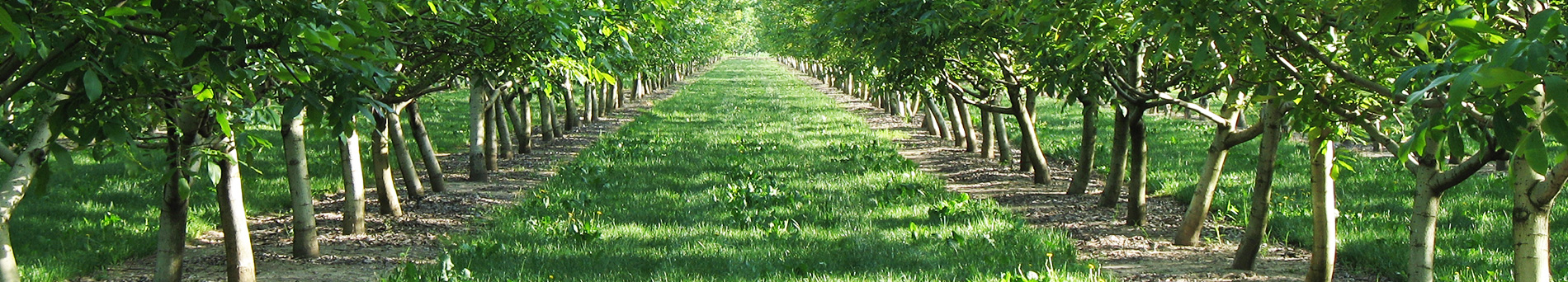 Coltivazione del noce - Growing of walnut trees