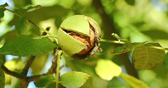Detti, proverbi e tradizioni su noci e nocciole - Sayings, proverbs and traditions about walnuts and hazelnut