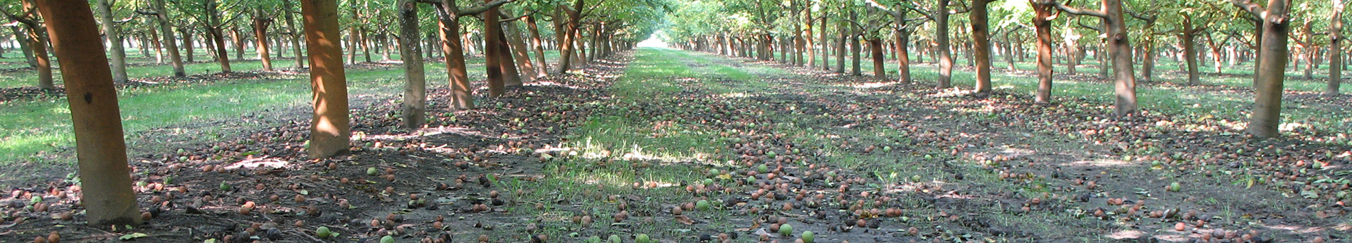 Noceto in Oltrepò Pavese - Alessandria - Pavia - Walnut grove in Oltrepò Pavese - Alessandria - Pavia