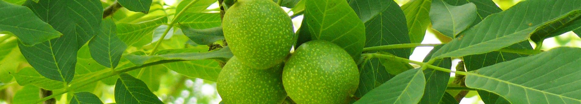 Produzione e vendita al dettaglio e all'ingrosso delle noci Lara - Production and sale of walnuts