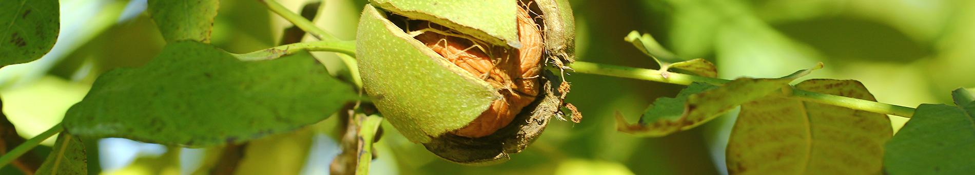 Immagini delle noci e nocciole dell'azienda agricola Agricorti -